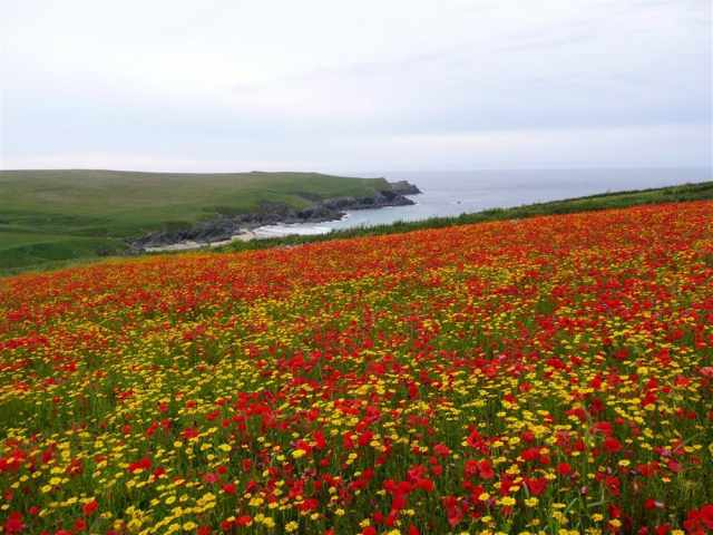 Crantock poppy fields
