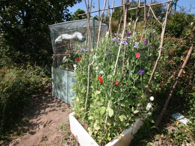 Sweet peas for the table