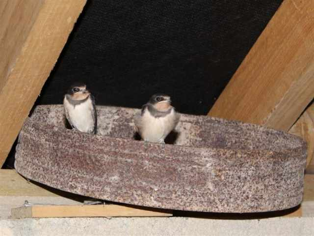 Swallows fledge
