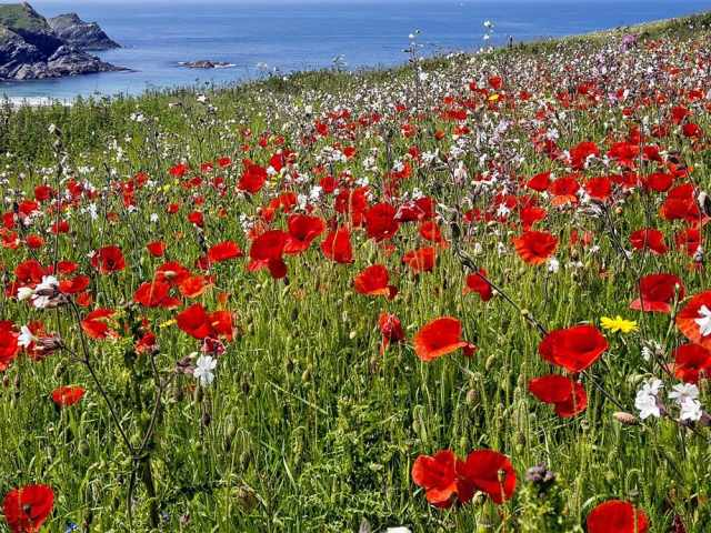 Poppy fields at Polly Joke