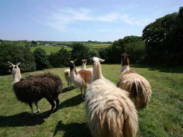 Llamas Enjoying The View
